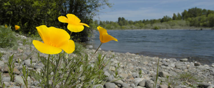 California Poppies on the Rogue River