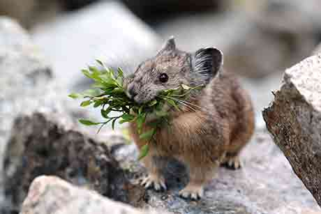 American Pika - Oregon Conservation Strategy