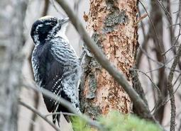 American_three_toed_woodpecker_David_A_460.jpg