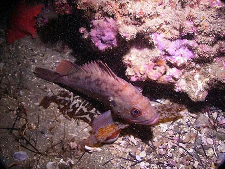 Brown_rockfish_Oregon_Coast_Aquarium_460.jpg