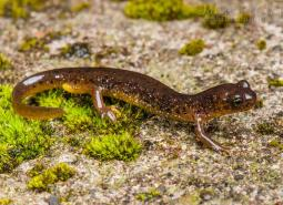 Cascade Torrent Salamander