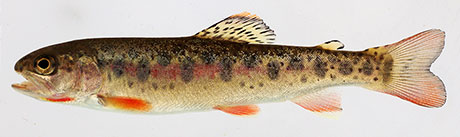 Coastal-cutthroat-trout_Doug-Markle_460.jpg