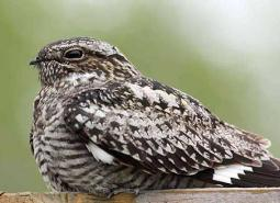 Common-nighthawk_Nick-Myatt_640.jpg
