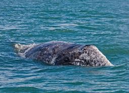 Gray_whale_Craig_Hayslip_OSU_Marine_Mammal_Institute_460.jpg