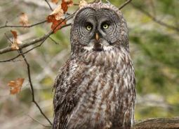 Great_gray_owl_Jim_Richmond_flickr_460.jpg