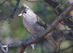 Juniper_titmouse_Seabamirum_flickr_460.jpg