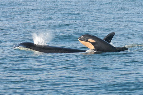 Killer_Whale_Southern_Resident_DPS_credit_NOAA_Fisheries_460.jpg