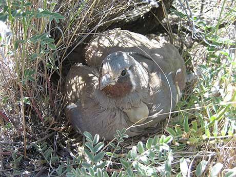 Mountain_quail_Dave_Budeau_460.jpg