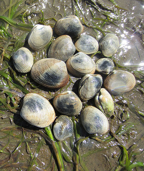 Native_littleneck_clam_ODFW_460.jpg