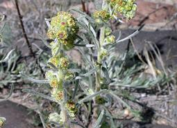 Northern-wormwood_ODA_460.jpg