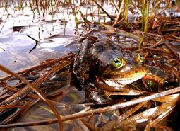 Oregon-Spotted-Frog_Teal-Waterstrat_USFWS_460.jpg