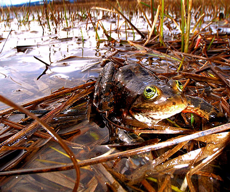 Oregon-Spotted-Frog_Teal-Waterstrat_USFWS_460.jpg