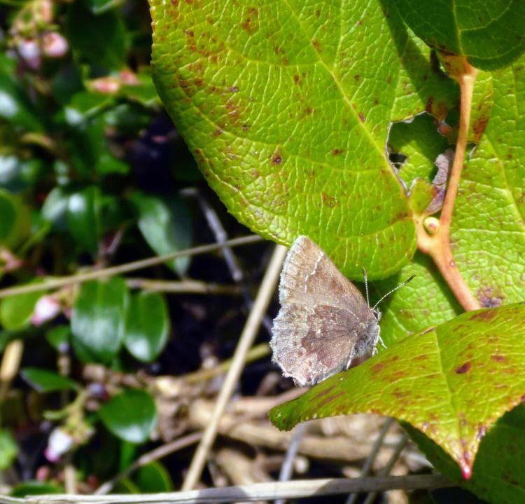 Seaside Hoary Elfin Butterfly in Oregon.