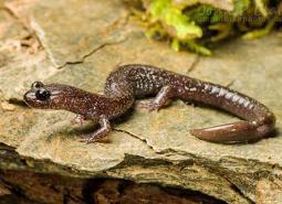 Siskiyou_Mountain_salamander_John_Clare_Flickr_460.jpg