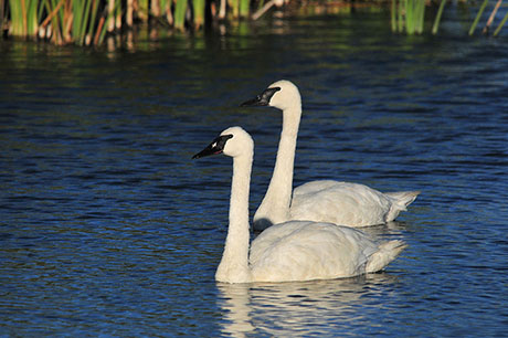 Trumpeter-Swan_Tom-Koerner_USFWS_460.jpg