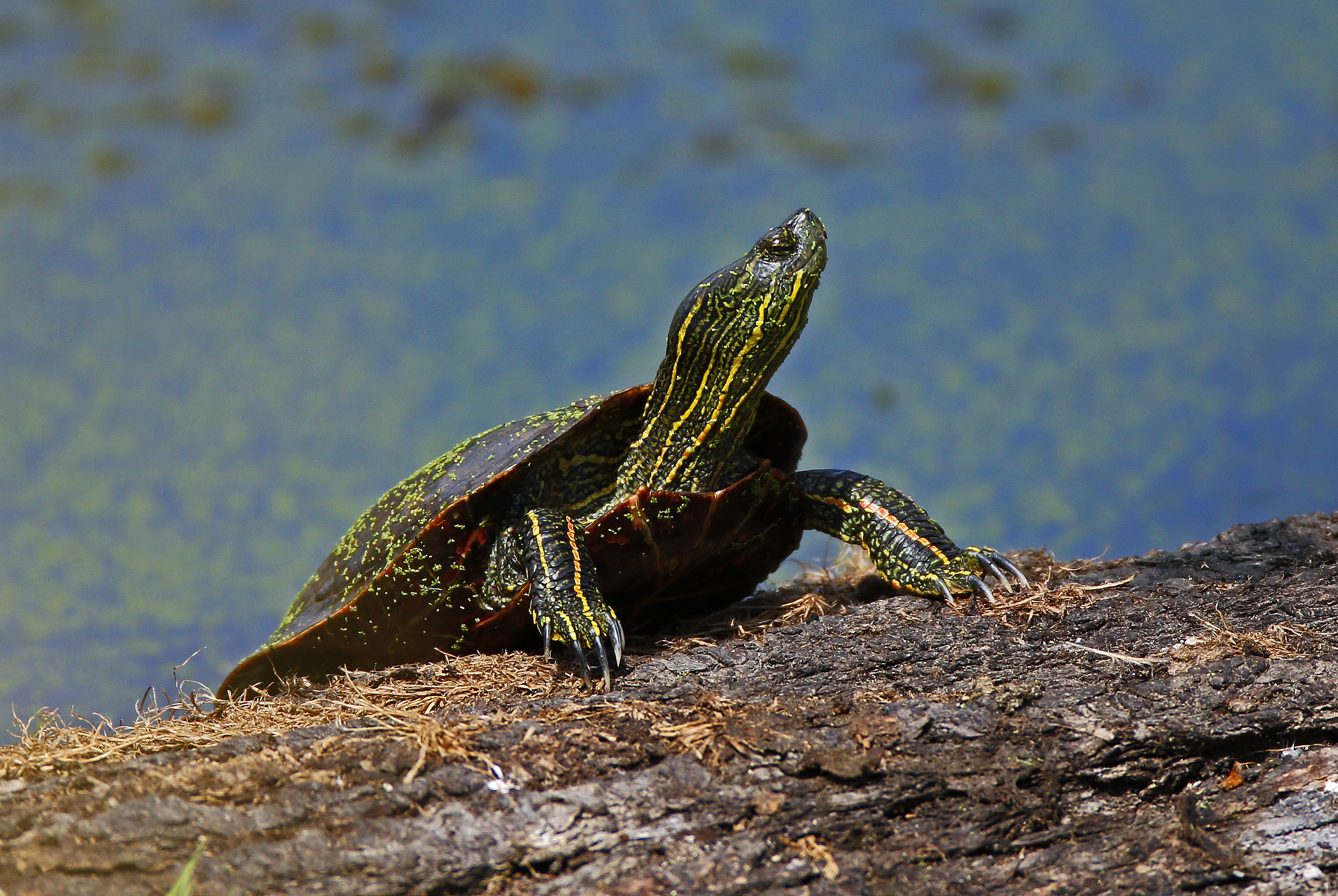 Western painted turtle oregon conservation strategy nvjuhfo Gallery