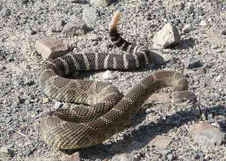 W-Rattlesnake_IE-Flickr_Charlotte-Ganskopp_460.jpg