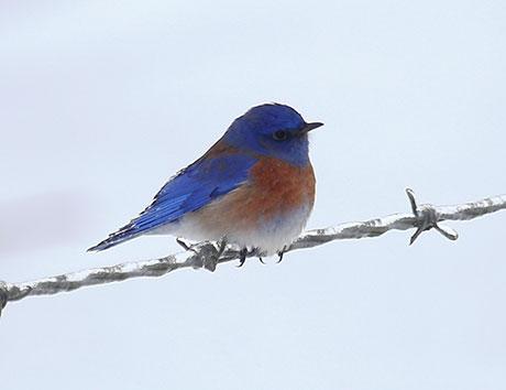 Western-Bluebird_Keith-Kohl_460.jpg