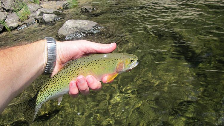Westslope Cutthroat Trout