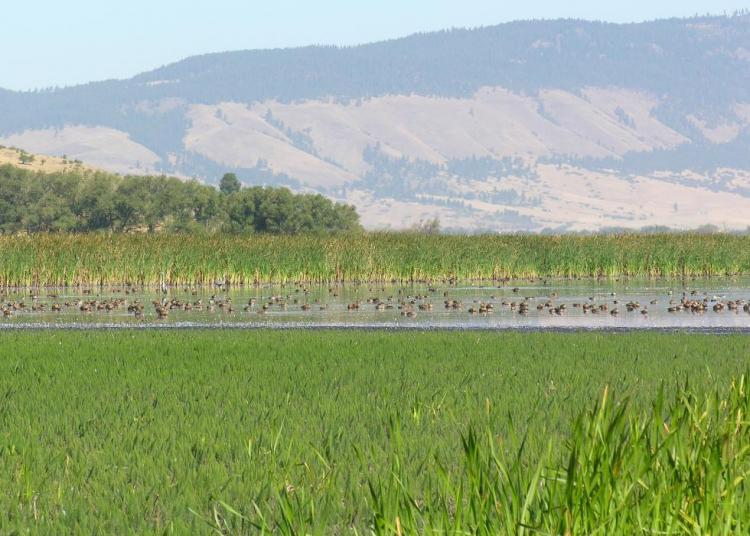 Ducks on a wetland in Ladd Marsh Wildlife Area, Oregon