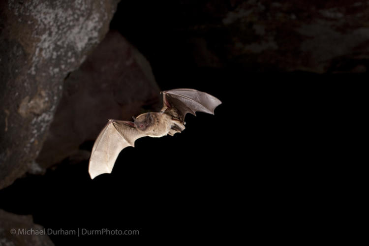 A Long Legged Bat Myotis Volans Flying Out Of Pond Cave In Craters