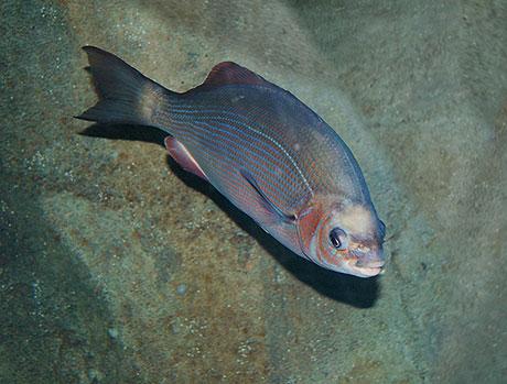 striped_perch_Oregon_Coast_Aquarium_460.jpg
